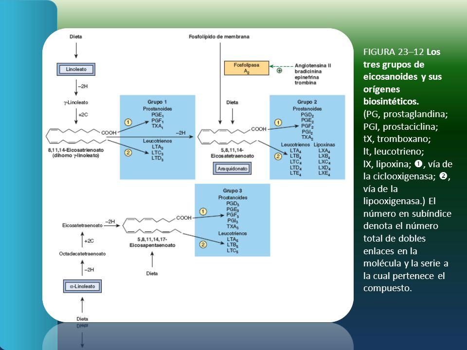 FIGURA 23–12 Los tres grupos de eicosanoides y sus orígenes biosintéticos.