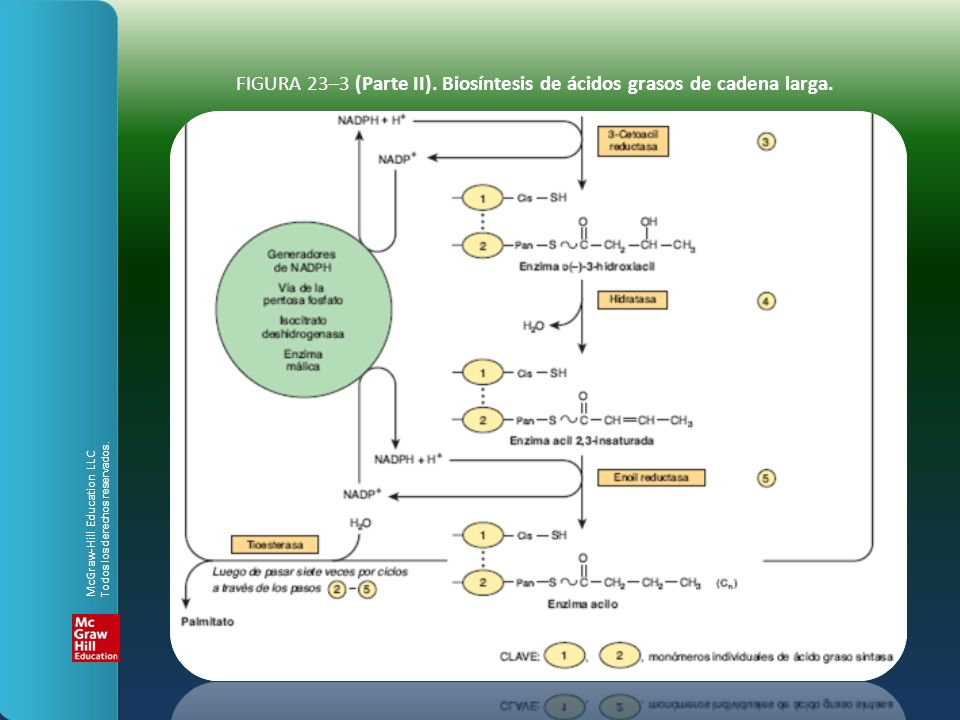 FIGURA 23–3 (Parte II). Biosíntesis de ácidos grasos de cadena larga.