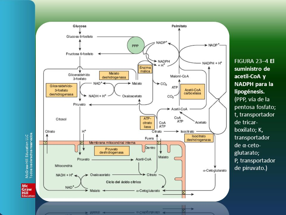 FIGURA 23–4 El suministro de acetil-CoA y NADPH para la lipogénesis