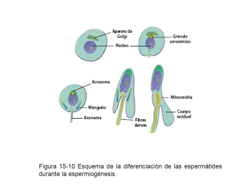 Figura 15-10 Esquema de la diferenciación de las espermátides durante la espermiogénesis.