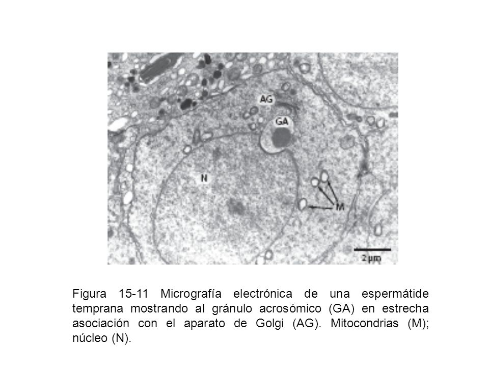 Figura 15-11 Micrografía electrónica de una espermátide temprana mostrando al gránulo acrosómico (GA) en estrecha asociación con el aparato de Golgi (AG).