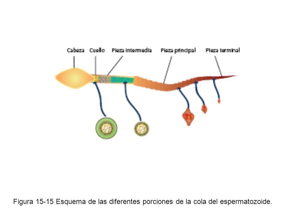 Figura 15-15 Esquema de las diferentes porciones de la cola del espermatozoide.