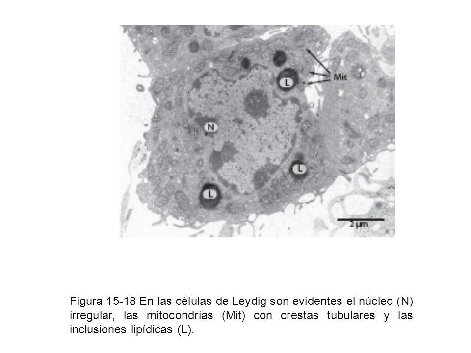 Figura 15-18 En las células de Leydig son evidentes el núcleo (N) irregular, las mitocondrias (Mit) con crestas tubulares y las inclusiones lipídicas (L).