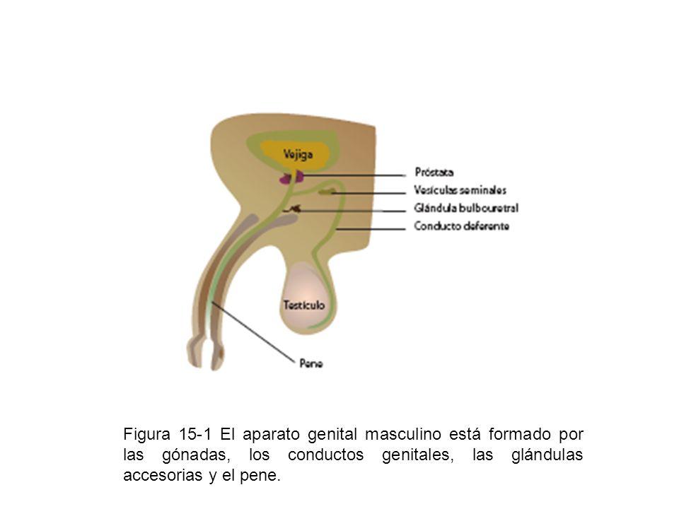 Figura 15-1 El aparato genital masculino está formado por las gónadas, los conductos genitales, las glándulas accesorias y el pene.