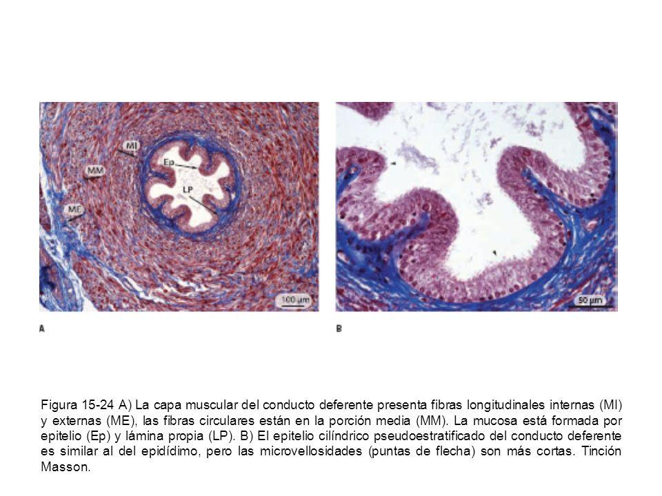Figura 15-24 A) La capa muscular del conducto deferente presenta fibras longitudinales internas (MI) y externas (ME), las fibras circulares están en la porción media (MM).