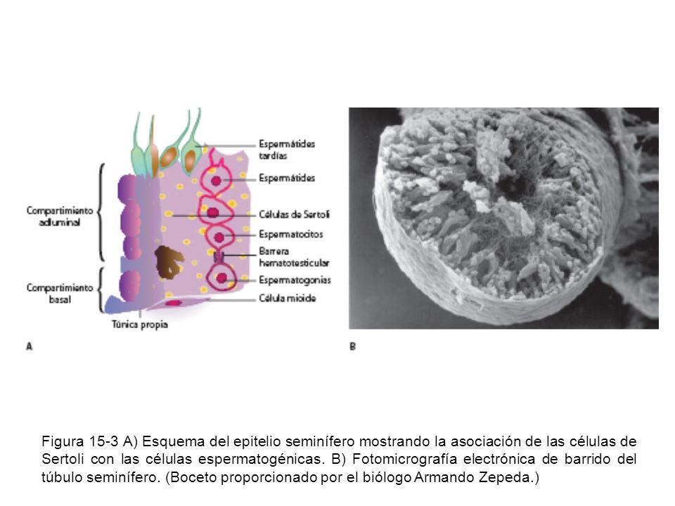 Figura 15-3 A) Esquema del epitelio seminífero mostrando la asociación de las células de Sertoli con las células espermatogénicas.