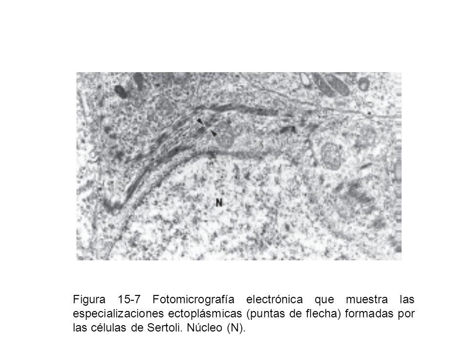 Figura 15-7 Fotomicrografía electrónica que muestra las especializaciones ectoplásmicas (puntas de flecha) formadas por las células de Sertoli.
