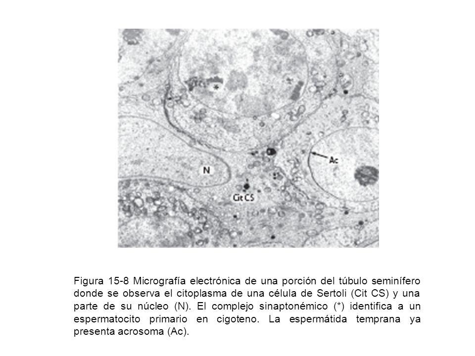 Figura 15-8 Micrografía electrónica de una porción del túbulo seminífero donde se observa el citoplasma de una célula de Sertoli (Cit CS) y una parte de su núcleo (N).