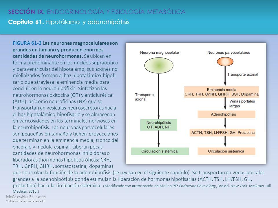 FIGURA 61-2 Las neuronas magnocelulares son grandes en tamaño y producen enormes cantidades de neurohormonas. Se ubican en forma predominante en los núcleos supraóptico y paraventricular del hipotálamo; sus axones no mielinizados forman el haz hipotalámico-hipofi sario que atraviesa la eminencia media para concluir en la neurohipófi sis. Sintetizan las neurohormonas oxitocina (OT) y antidiurética (ADH), así como neurofisinas (NP) que se transportan en vesículas neurosecretoras hacia el haz hipotalámico-hipofisario y se almacenan en varicosidades en las terminales nerviosas en la neurohipófisis. Las neuronas parvocelulares son pequeñas en tamaño y tienen proyecciones que terminan en la eminencia media, tronco del encéfalo y médula espinal. Liberan pocas cantidades de neurohormonas inhibidoras o liberadoras (hormonas hipofisotróficas: CRH, TRH, GnRH, GHRH, somatostatina, dopamina)