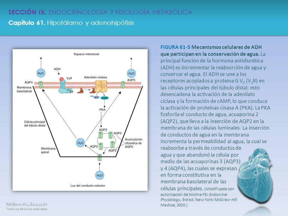 FIGURA 61-5 Mecanismos celulares de ADH que participan en la conservación de agua.