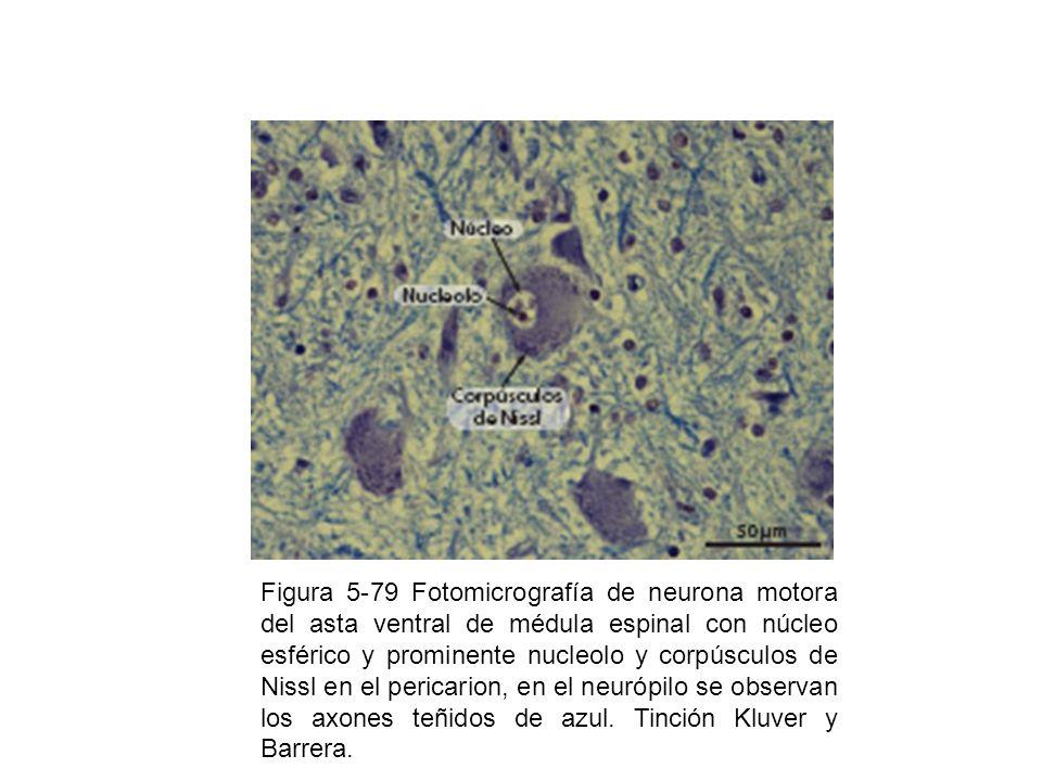 Figura 5-79 Fotomicrografía de neurona motora del asta ventral de médula espinal con núcleo esférico y prominente nucleolo y corpúsculos de Nissl en el pericarion, en el neurópilo se observan los axones teñidos de azul.