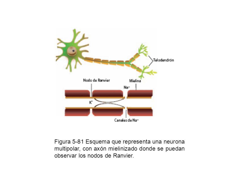 Figura 5-81 Esquema que representa una neurona multipolar, con axón mielinizado donde se puedan observar los nodos de Ranvier.