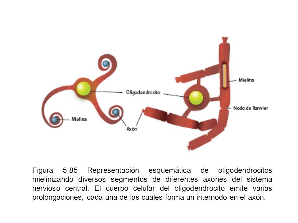 Figura 5-85 Representación esquemática de oligodendrocitos mielinizando diversos segmentos de diferentes axones del sistema nervioso central.