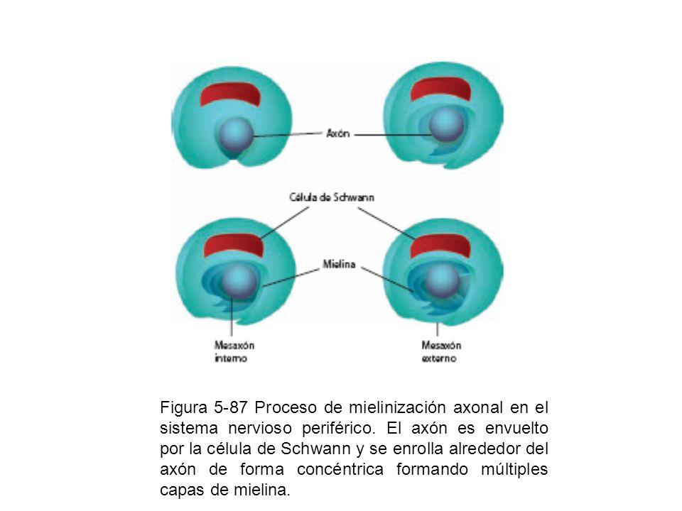Figura 5-87 Proceso de mielinización axonal en el sistema nervioso periférico.