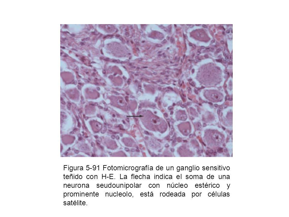 Figura 5-91 Fotomicrografía de un ganglio sensitivo teñido con H-E