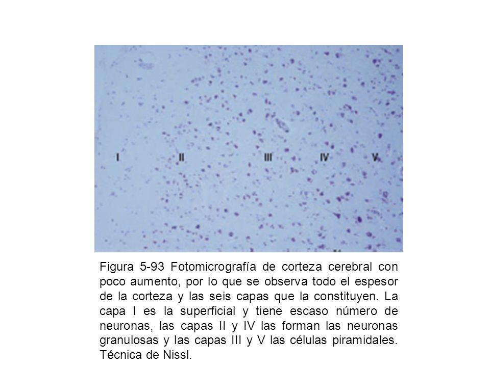 Figura 5-93 Fotomicrografía de corteza cerebral con poco aumento, por lo que se observa todo el espesor de la corteza y las seis capas que la constituyen.