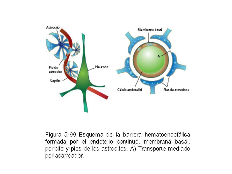 Figura 5-99 Esquema de la barrera hematoencefálica formada por el endotelio continuo, membrana basal, pericito y pies de los astrocitos.