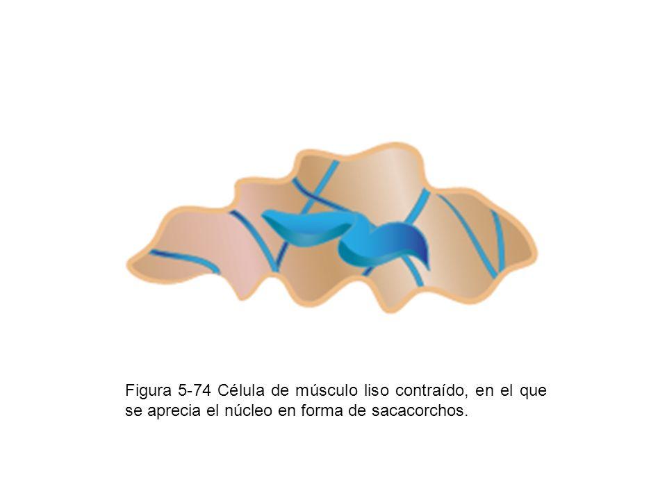 Figura 5-74 Célula de músculo liso contraído, en el que se aprecia el núcleo en forma de sacacorchos.