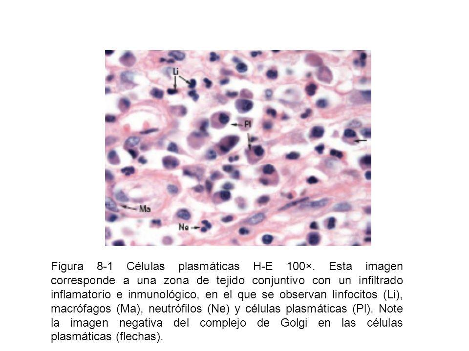 Figura 8-1 Células plasmáticas H-E 100×