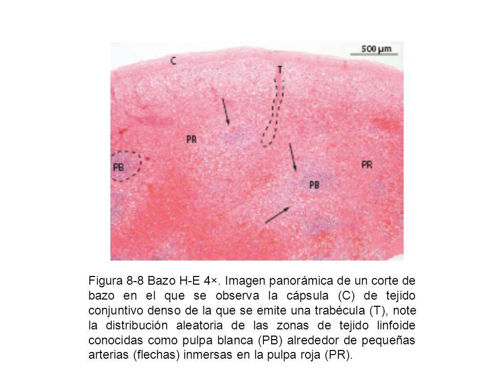 Figura 8-8 Bazo H-E 4×.