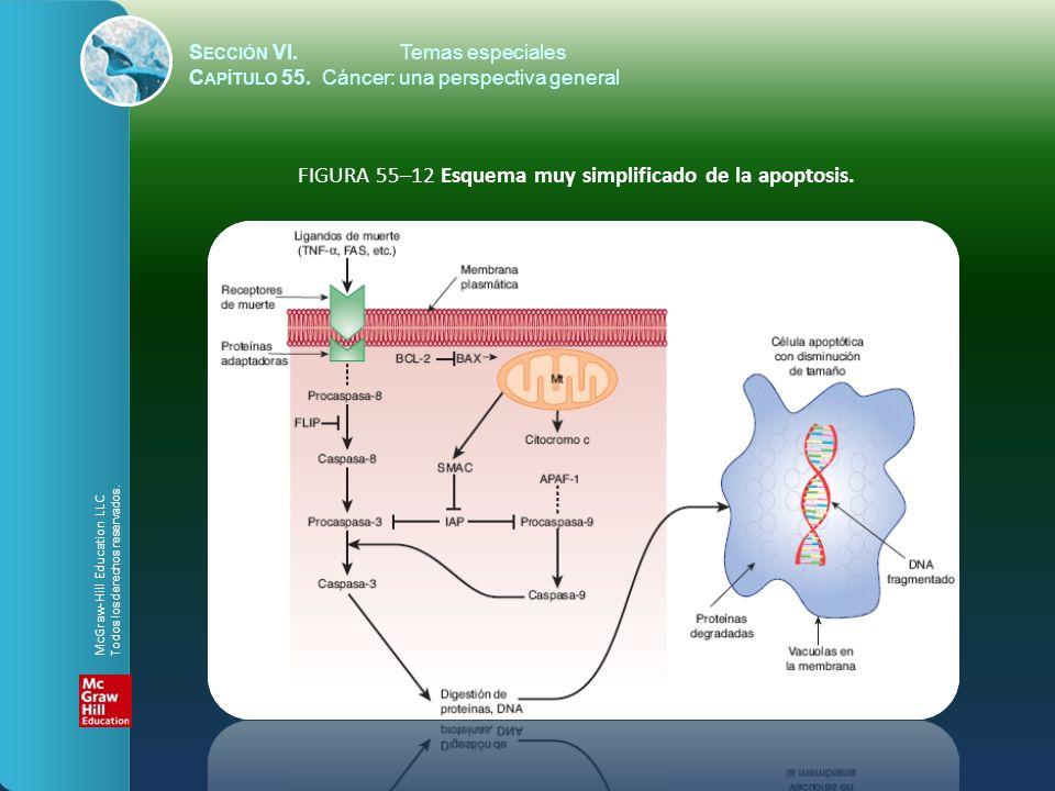 FIGURA 55–12 Esquema muy simplificado de la apoptosis.