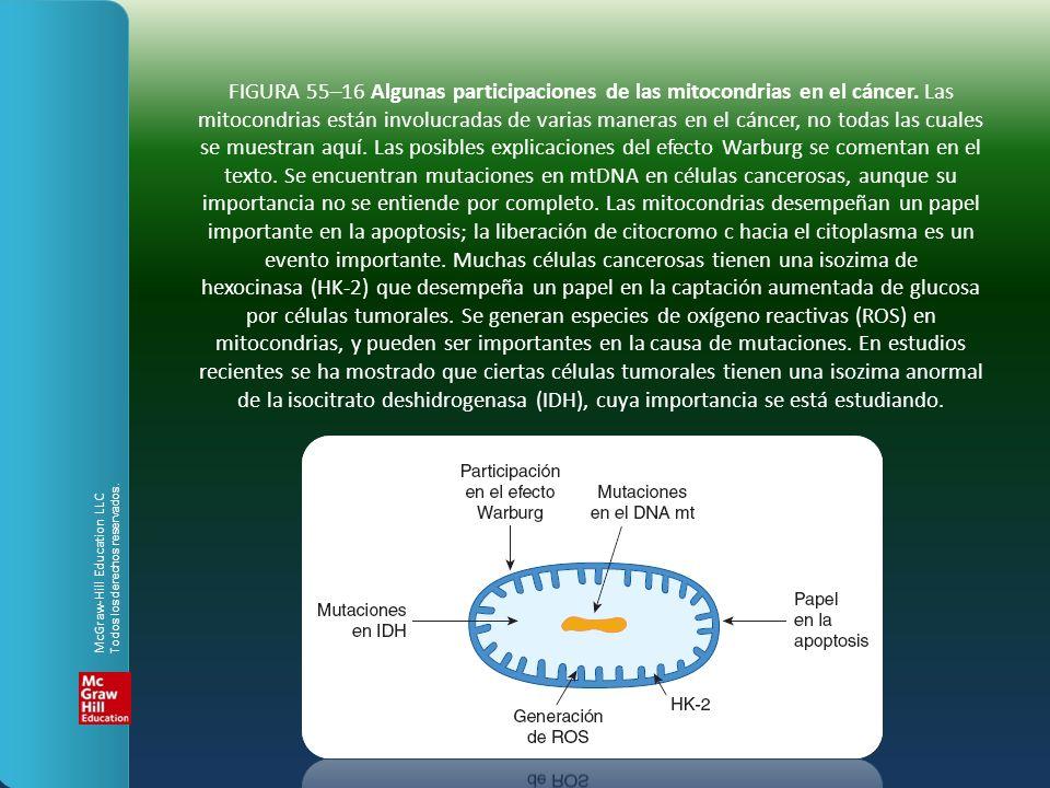 FIGURA 55–16 Algunas participaciones de las mitocondrias en el cáncer