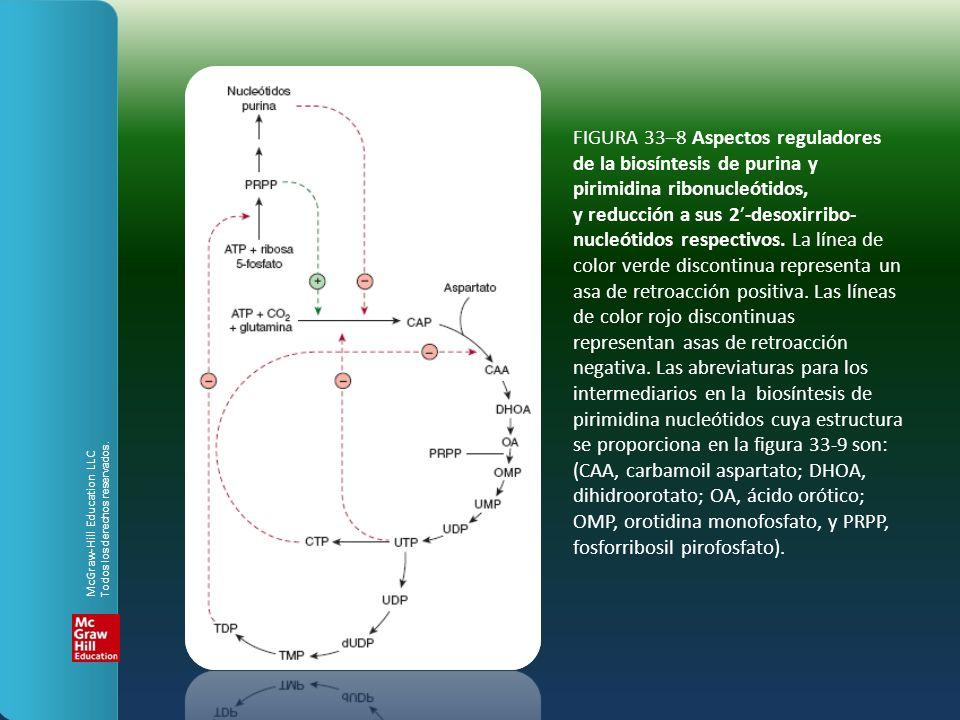 FIGURA 33–8 Aspectos reguladores de la biosíntesis de purina y pirimidina ribonucleótidos, y reducción a sus 2′-desoxirribo-nucleótidos respectivos. La línea de color verde discontinua representa un asa de retroacción positiva. Las líneas de color rojo discontinuas representan asas de retroacción negativa. Las abreviaturas para los intermediarios en la biosíntesis de pirimidina nucleótidos cuya estructura se proporciona en la figura 33-9 son: (CAA, carbamoil aspartato; DHOA, dihidroorotato; OA, ácido orótico; OMP, orotidina monofosfato, y PRPP, fosforribosil pirofosfato).