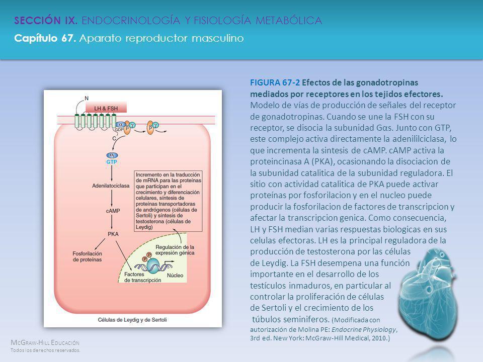 FIGURA 67-2 Efectos de las gonadotropinas mediados por receptores en los tejidos efectores.