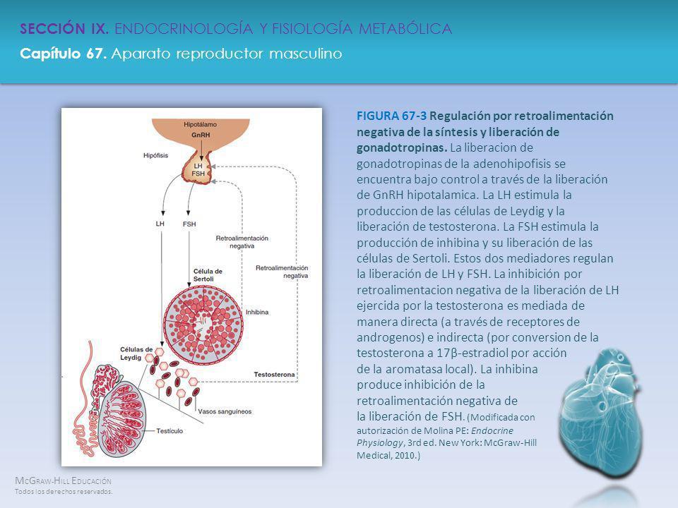 FIGURA 67-3 Regulación por retroalimentación negativa de la síntesis y liberación de gonadotropinas.