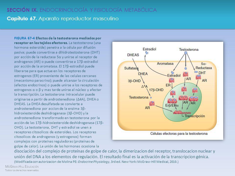 FIGURA 67-4 Efectos de la testosterona mediados por receptor en los tejidos efectores. La testosterona (una hormona esteroide) penetra a la célula por difusión pasiva; puede convertirse a dihidrotestosterona (DHT) por acción de la reductasa 5α y unirse al receptor de androgenos (AR) o puede convertirse a 17β-estradiol por acción de la aromatasa. El 17β-estradiol puede liberarse para que actue en los receptores de estrogenos (ER) proveniente de las celulas cercanas (mecanismo paracrino); puede alcanzar la circulación (efectos endocrinos) o puede unirse a los receptores de estrogenos α o β y mas tarde unirse al núcleo y afectar la transcripción. La testosterona intracelular puede originarse a partir de androstenediona (Δ4A), DHEA o DHEAS. La DHEA desulfatada se convierte a androstenediona por accion de la enzima 3β-hidroxiesteroide deshidrogenasa (3β-OHD) y la androstenediona transformado en testosterona por la acción de las 17β-hidroxiesteroide deshidrogenasa (17β-OHD). La testosterona, DHT y estradiol se unen a receptores citosolicos de esteroides. Los receptores citosolicos de androgenos (y estrogenos) forman complejos con proteínas reguladoras (proteínas de golpe de calor). La unión de las hormonas ocasiona la