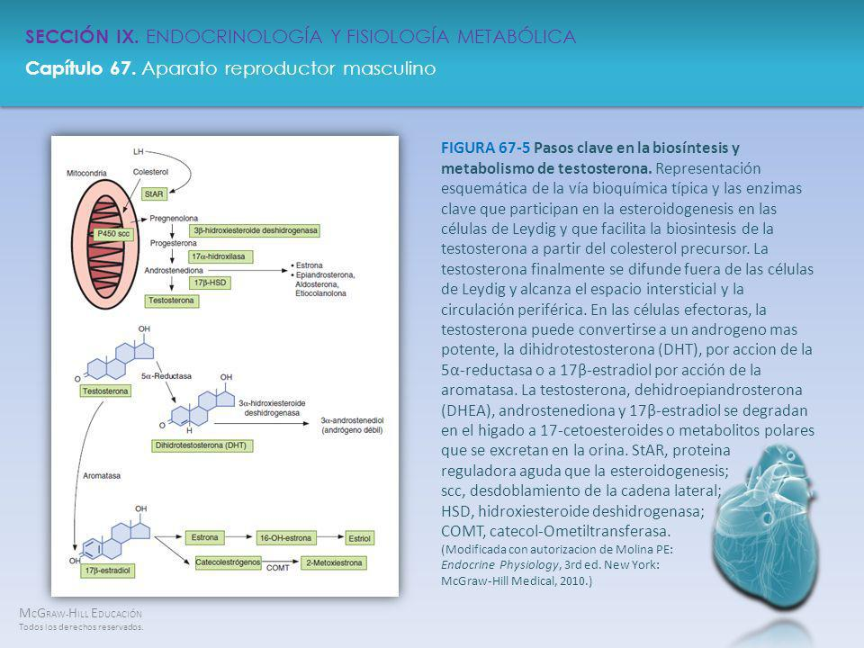 FIGURA 67-5 Pasos clave en la biosíntesis y metabolismo de testosterona.