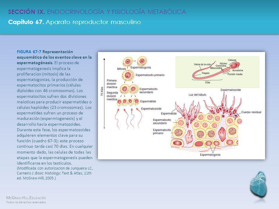 FIGURA 67-7 Representación esquemática de los eventos clave en la espermatogénesis.