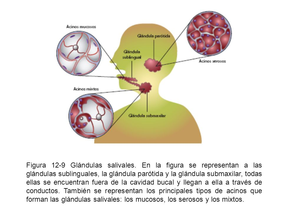 Figura 12-9 Glándulas salivales
