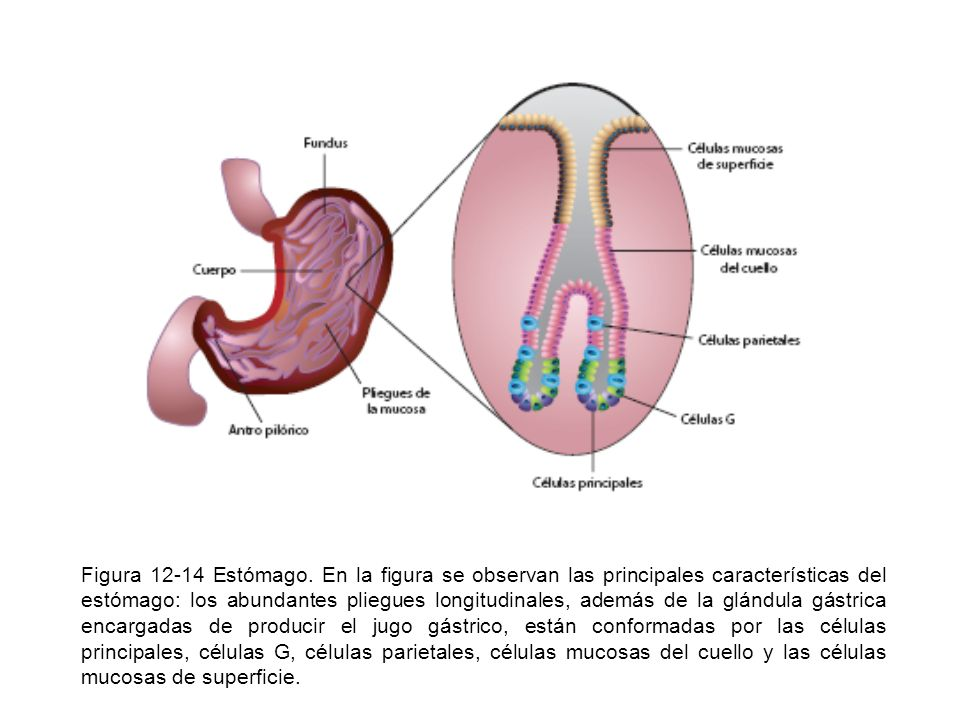 Figura 12-14 Estómago.