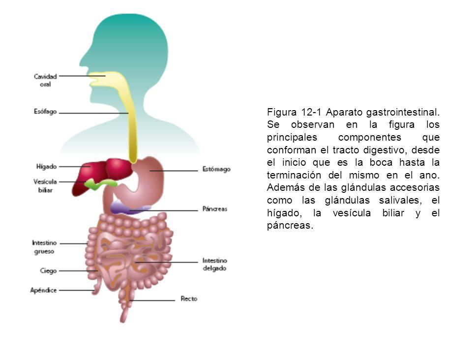 Figura 12-1 Aparato gastrointestinal