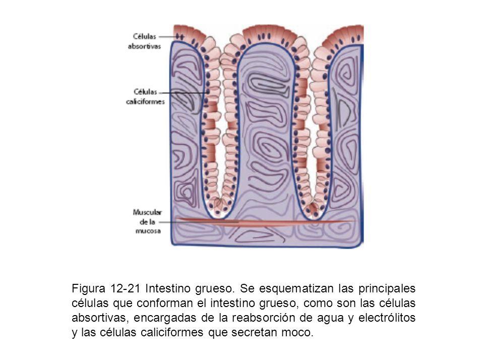 Figura 12-21 Intestino grueso