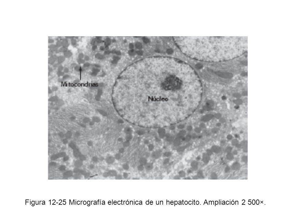Figura 12-25 Micrografía electrónica de un hepatocito