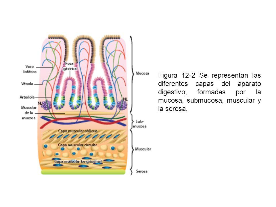 Figura 12-2 Se representan las diferentes capas del aparato digestivo, formadas por la mucosa, submucosa, muscular y la serosa.