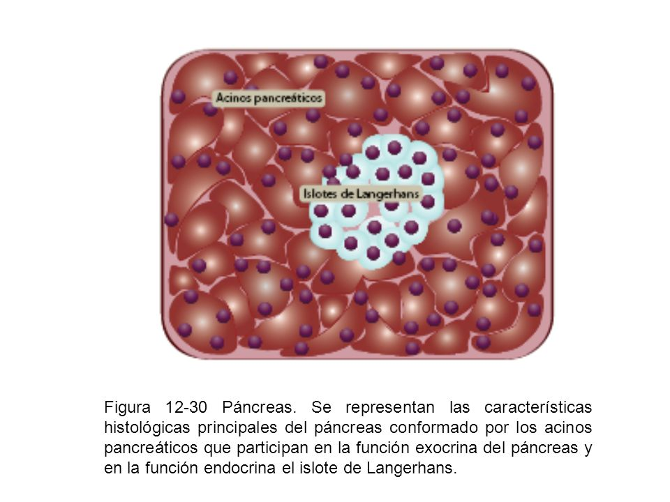 Figura 12-30 Páncreas.