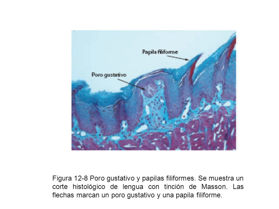 Figura 12-8 Poro gustativo y papilas filiformes