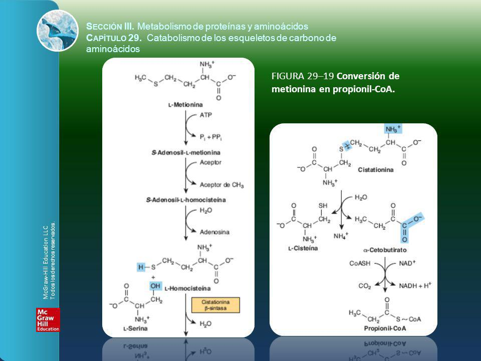 FIGURA 29–19 Conversión de metionina en propionil-CoA.