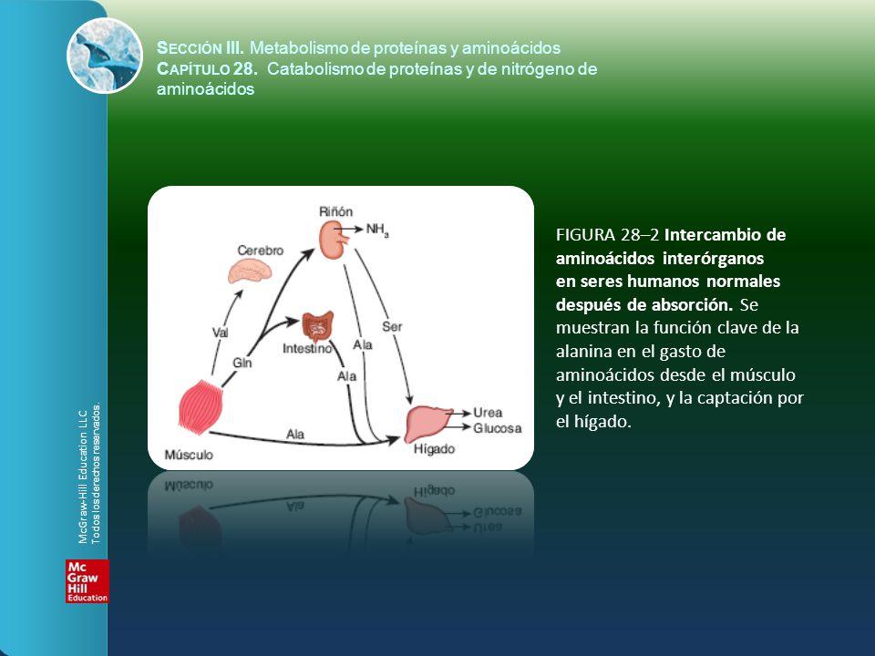 FIGURA 28–2 Intercambio de aminoácidos interórganos
