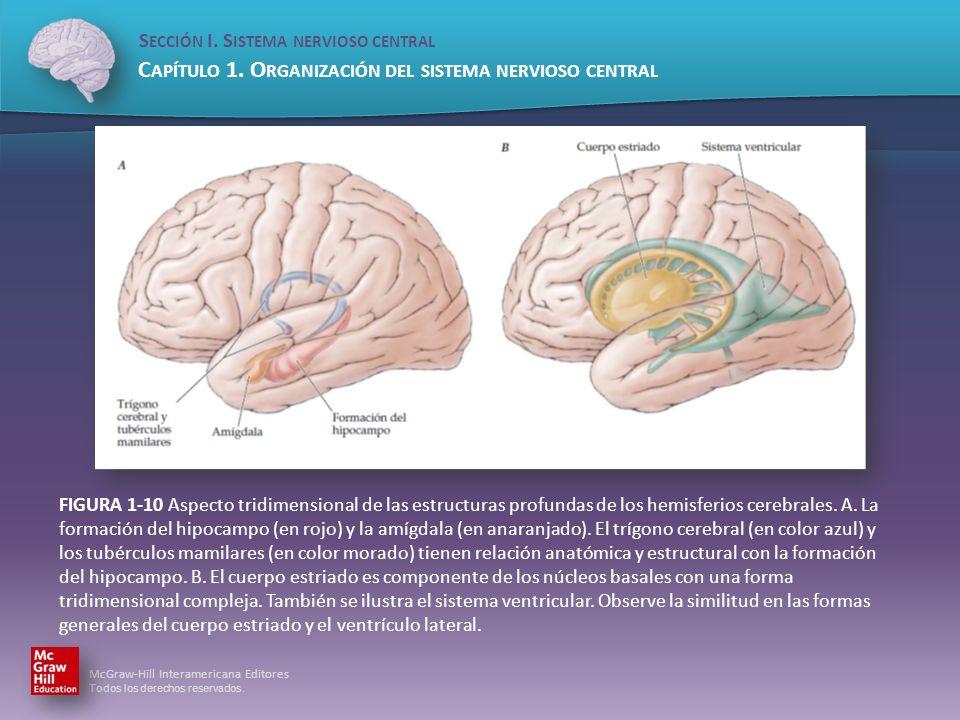 FIGURA 1-10 Aspecto tridimensional de las estructuras profundas de los hemisferios cerebrales.