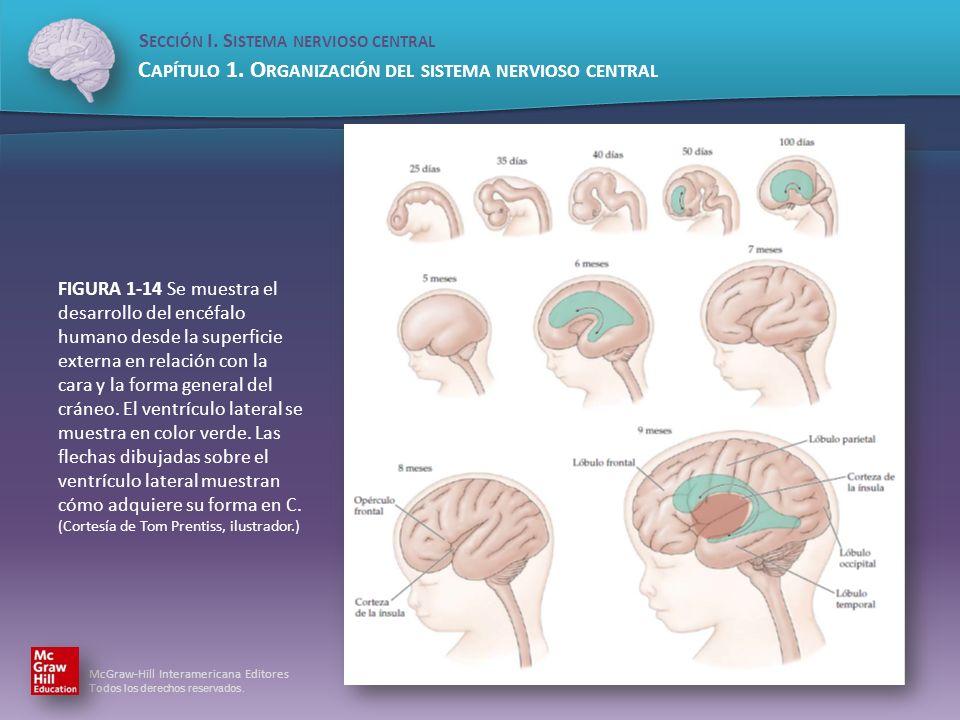 FIGURA 1-14 Se muestra el desarrollo del encéfalo humano desde la superficie externa en relación con la cara y la forma general del cráneo.