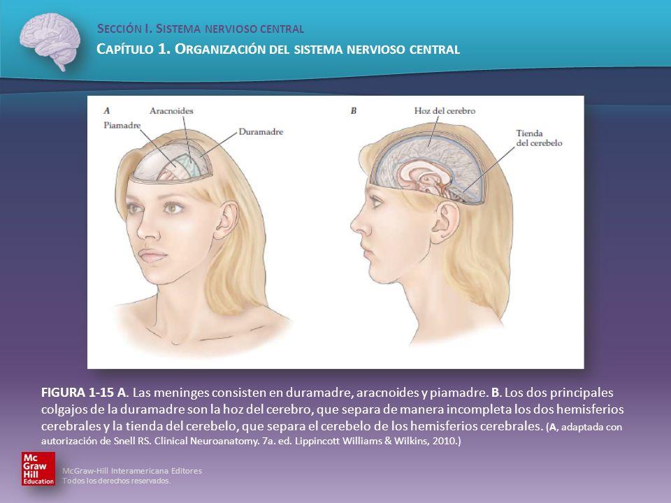 FIGURA 1-15 A. Las meninges consisten en duramadre, aracnoides y piamadre.