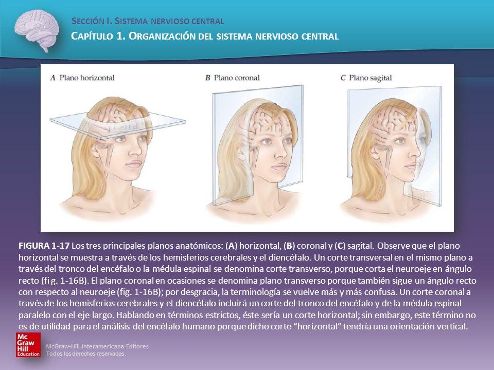 FIGURA 1-17 Los tres principales planos anatómicos: (A) horizontal, (B) coronal y (C) sagital.