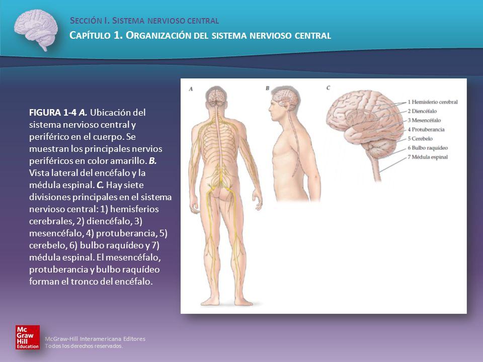 FIGURA 1-4 A.Ubicación del sistema nervioso central y periférico en el cuerpo.