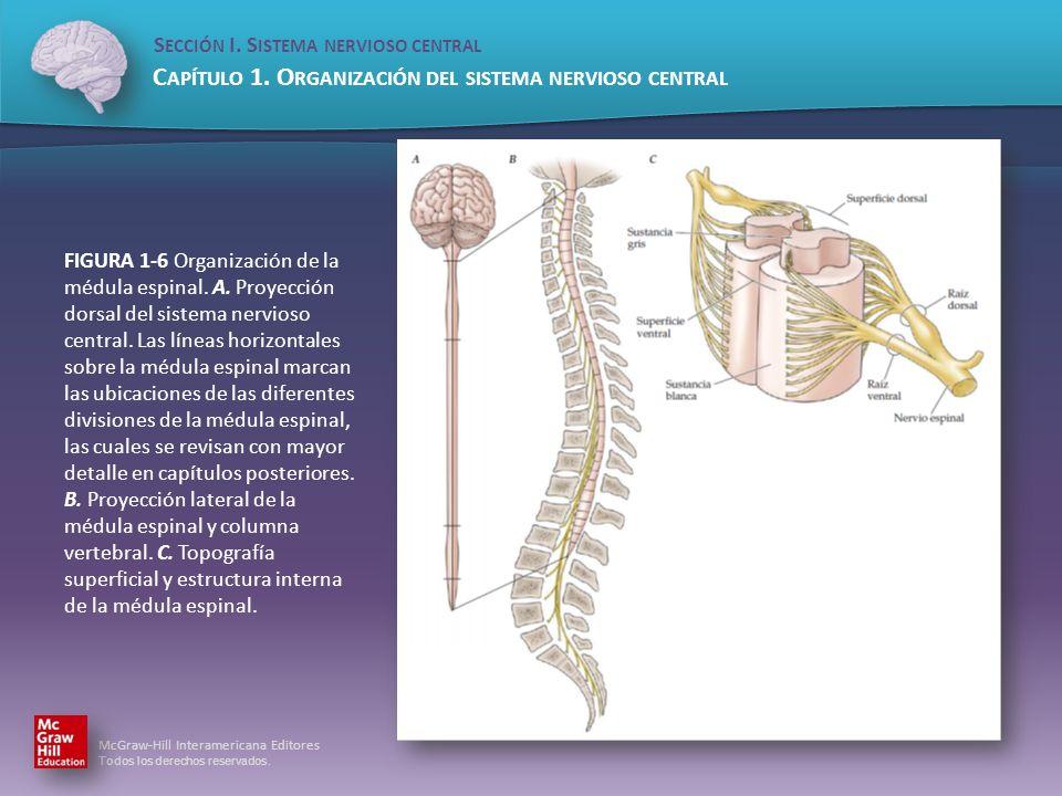 FIGURA 1-6 Organización de la médula espinal. A