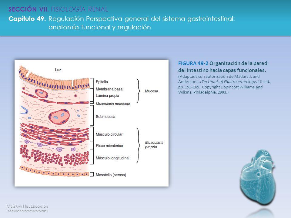 FIGURA 49-2 Organización de la pared del intestino hacia capas funcionales.