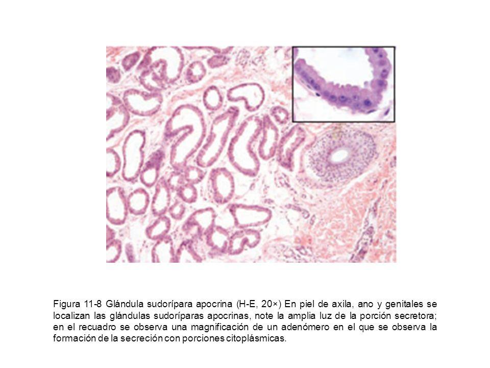 Figura 11-8 Glándula sudorípara apocrina (H-E, 20×) En piel de axila, ano y genitales se localizan las glándulas sudoríparas apocrinas, note la amplia luz de la porción secretora; en el recuadro se observa una magnificación de un adenómero en el que se observa la formación de la secreción con porciones citoplásmicas.